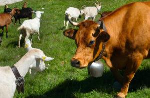 Samuel Sylvin - Troupeau de chèvres et vaches